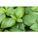 Sweet Basil Pure Essential Oil 100ml