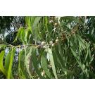 Eucalyptus Blue Gum Pure Essential Oil 100ml
