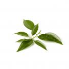 Camphor White pure essential oil 12ml