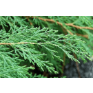 Cypress French Pure Essential Oil 100ml