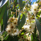 Organic Eucalyptus Pure Essential Oil 100ml