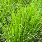 Palmarosa Pure Essential Oil 100ml