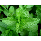 Peppermint Pure Essential Oil 12ml