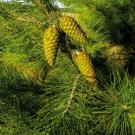 Pine Pure Essential Oil 100ml
