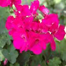 Rose Geranium Pure Essential Oil 100ml