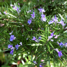 Rosemary Pure Essential Oil 100ml