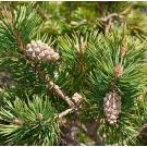 Pine, Scotch Pure Essential Oil 12ml