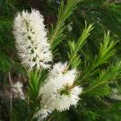 Tea Tree Pure Essential Oil 100ml