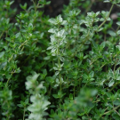 Thyme Pure Essential Oil 100ml