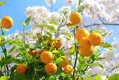 Citrus Blossom Blend